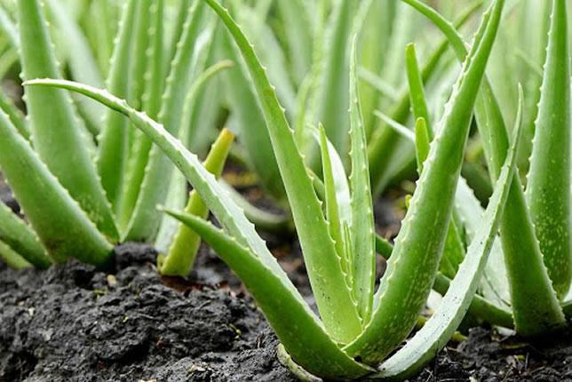 Aloe Vera Χρήσεις, Ιδιότητες, Παρενέργειες
